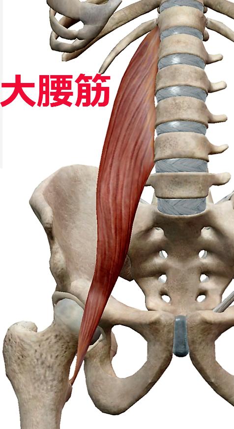 慢性腰痛の黒幕2、大腰筋
